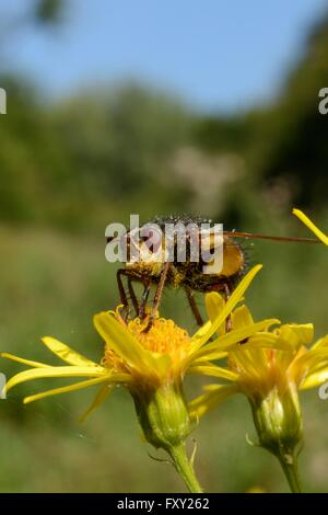Parasite fly / Tachinid fly (Tachina fera)  a parasite of noctuid moths, feeding on a Ragwort flower (Senecio jacobaea). - Stock Photo