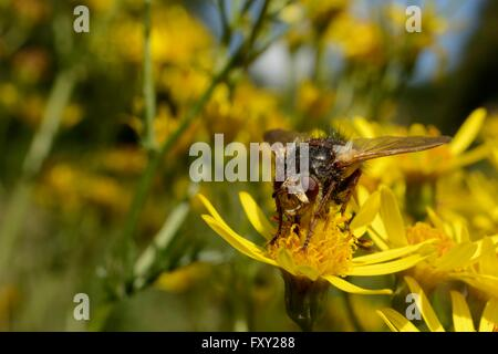 Parasite fly / Tachinid fly (Tachina fera)  a parasite of noctuid moths, feeding on Ragwort flowers (Senecio jacobaea) - Stock Photo