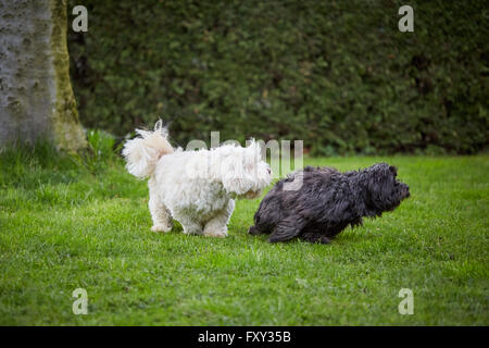 White and black havanese dog playing and running over the green grass in the garden. - Stock Photo
