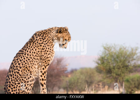 Cheetah (acinonyx jubatus) looking down sitting on high ground at sunset, Namibia - Stock Photo