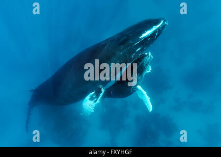 Humpback whale (Megaptera novaeangliae) with great injury to mouth, female, cow, with young, calf, over coral reef, - Stock Photo