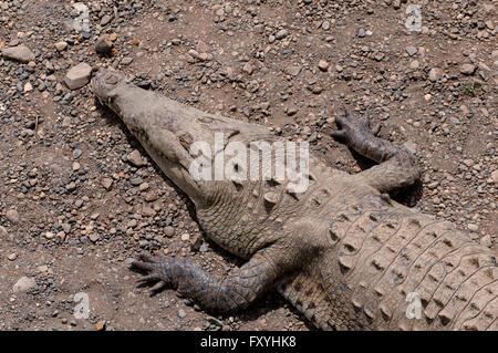American Crocodiles (Crocodylus acutus), Rio Tarcoles, Carara National Park, Costa Rica - Stock Photo