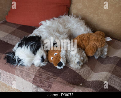 Black and White Cockapoo Puppy with Foxy his best friend - Stock Photo