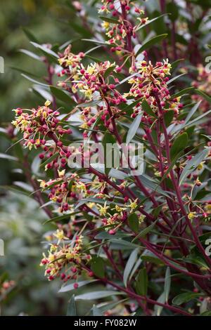 Spring flowers of the Australian mountain pepper bush, Tasmannia (Drimys) lanceolata - Stock Photo