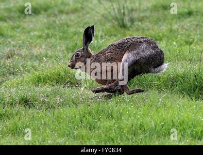 Fast running Female European brown (Lepus europaeus) in a meadow - Stock Photo