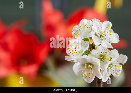 White apple blossom in front of red tulips in yellow bucket - Stock Photo