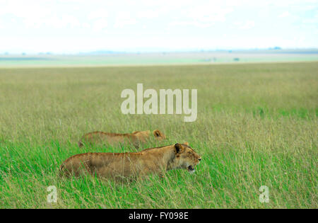 Lionesses searching for prey in the vast Serengeti savanna. - Stock Photo
