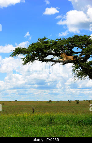 Lionesses on a tree in Serengeti National Park, Tanzania. - Stock Photo