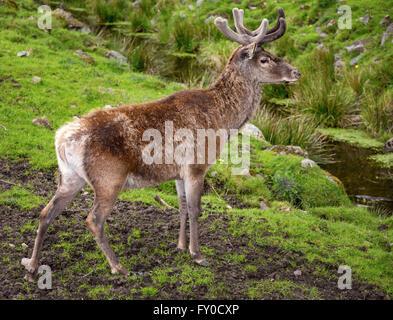 Red deer (Cervus elaphus), captive, Skåne, Sweden - Stock Photo