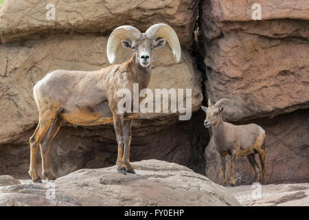 Desert Bighorn Sheep (Ovis canadensis nelsoni), Arizona - Stock Photo