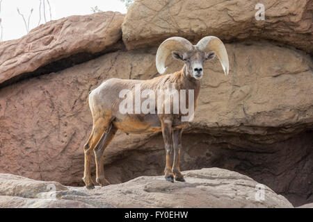 Desert Bighorn Sheep (Ovis canadensis nelsoni) - Stock Photo