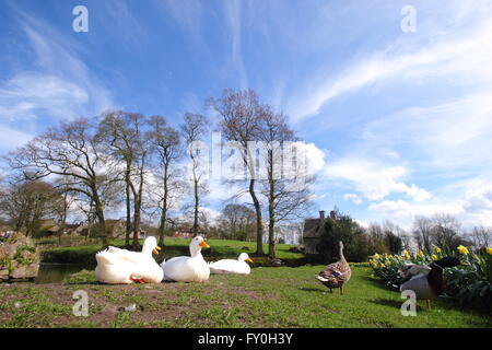 Ducks and daffodils by the village pond in Tissington, Peak District National Park, Derbyshire UK  - spring - Stock Photo