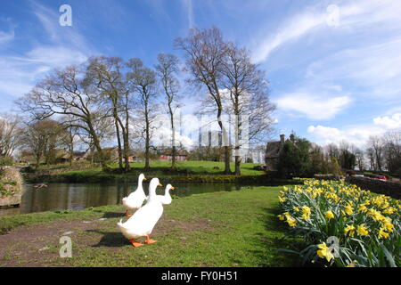 Ducks and daffodils by the village pond in Tissington, Peak District National Park, Derbyshire UK  - springscs - Stock Photo
