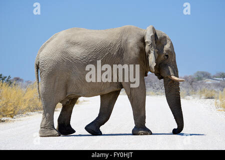 Solitary African bull elephant (Loxodonta africana) crossing unpaved road in Etosha National Park, Namibia - Stock Photo