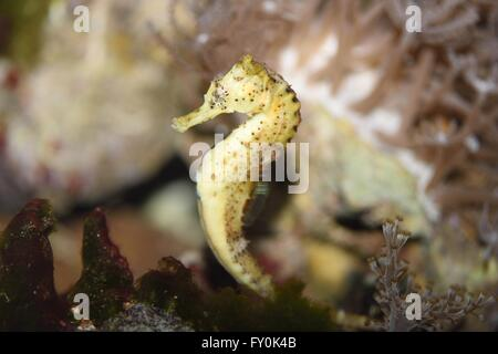 long-snouted seahorse - Stock Photo