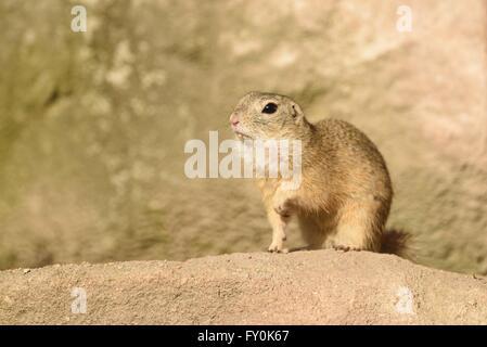 European ground squirrel - Stock Photo