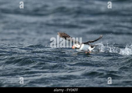 Atlantic puffin - Stock Photo