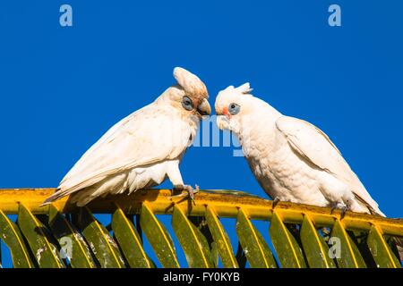 bare-eyed cockatoos - Stock Photo