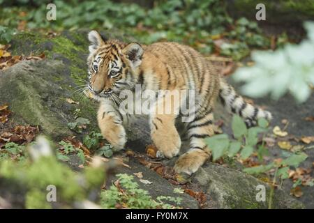 Amur tiger - Stock Photo