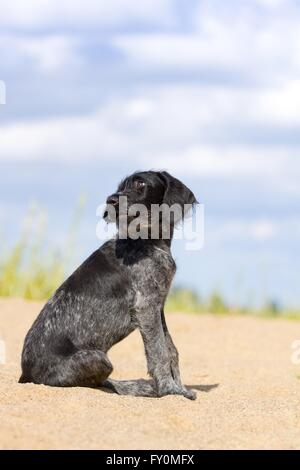 young German wirehaired Pointer - Stock Photo