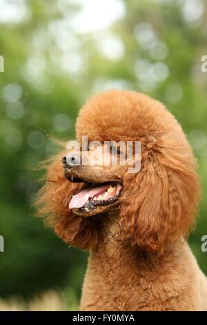 Giant Poodle Portrait - Stock Photo
