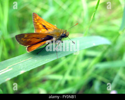 Brown large skipper butterfly (Ochlodes venatus) on leaf - Stock Photo
