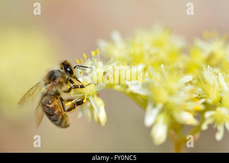 Macro of honey bee (Apis) feeding on yellow flower seen from profile - Stock Photo