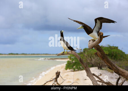 Brown Booby bird couple, Christmas Island, Kiribati - Stock Photo