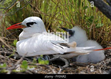 Red-tailed tropicbird with a chick, Christmas Island, Kiribati - Stock Photo
