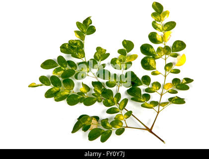 Studio shot branch of young Olive trees green and yellow patterned leaves on white - Stock Photo