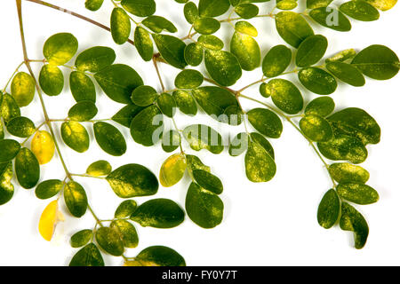 Closeup Studio shot branch of young Olive trees green and yellow patterned leaves on white - Stock Photo
