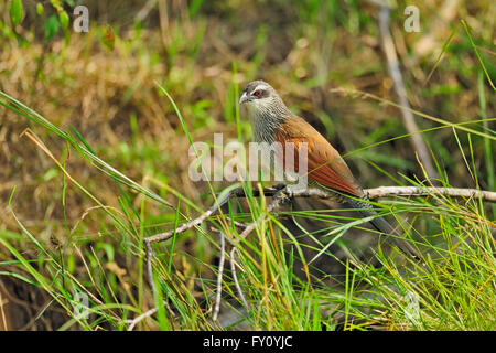 White-browed coucal (Centropus superciliosus) in the grasslands of Masai Mara - Stock Photo