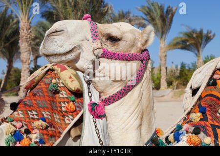 colorful camel head in egypt - Stock Photo