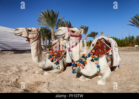 two colorful camels in egypt - Stock Photo