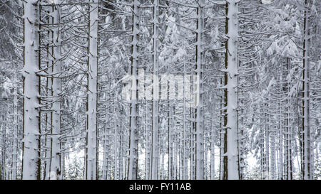 Pine tree trunks in coniferous forest covered in snow in winter at the High Fens / Hautes Fagnes, Belgian Ardennes, - Stock Photo
