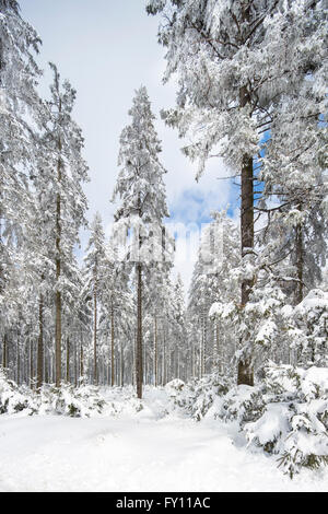 Pine trees in coniferous forest covered in snow in winter at the High Fens / Hautes Fagnes, Belgian Ardennes, Belgium - Stock Photo