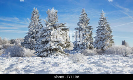 Norway spruces (Picea abies) covered in white frost in moorland in winter, High Fens / Hautes Fagnes, Belgian Ardennes, - Stock Photo