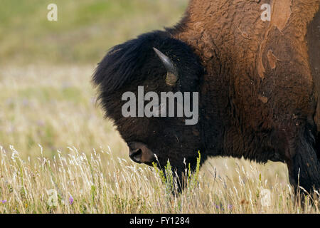 American bison / American buffalo (Bison bison) close up portrait of bull in summer coat - Stock Photo