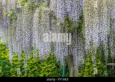 Wisteria flowers growing on tree at park - Stock Photo
