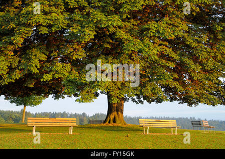 Horse chestnut tree at sunrise, Stanley Park, Vancouver, British Columbia, Canada - Stock Photo