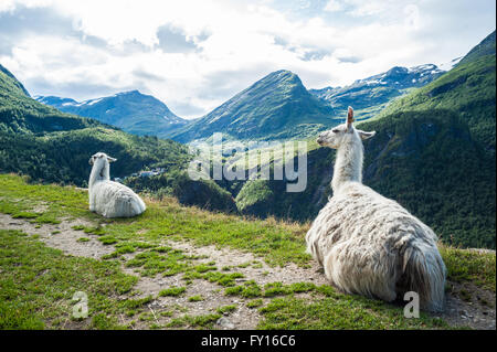 Two white llamas sitting down on a small path with beautiful mountain landscape in the background - Stock Photo
