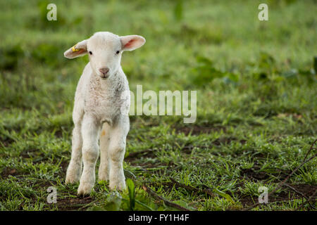Corsham, UK. 20th April, 2016. New born lambs with their mothers enjoy a warm day in a nursery field. These are - Stock Photo