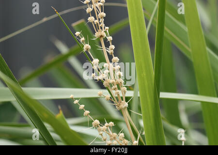 Lomandra longifolia or also known as Spiny-head Mat-rush, Basket Grass - Stock Photo