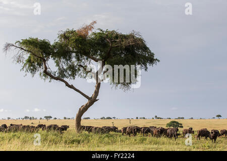 Herd of African Buffaloes (Syncerus caffer) standing in the shade, Murchinson Falls National Park, Uganda - Stock Photo