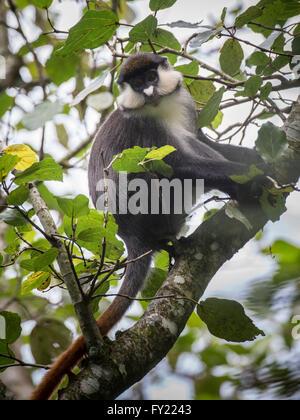 Red-tailed Monkey (Cercopithecus ascanius), Bigodi Wetland, Uganda - Stock Photo