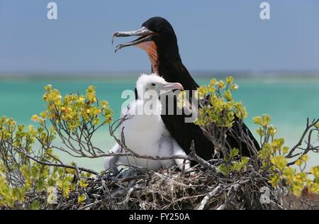 Male Great frigatebird with a chick in the nest, Christmas Island, Kiribati - Stock Photo