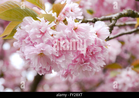 Fluffy pink cherry blossom flowers on branches on the tree.  In Greater Vancouver, Prunus serrulata 'Kanzan'