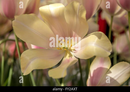 Tulipa 'Blushing Lady', in the Willem-Alexander Pavilion at Keukenhof, one the world's famous flower gardens, South - Stock Photo