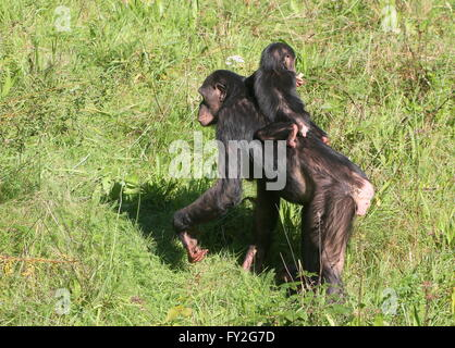 Mother African Bonobo Chimpanzees (Pan Paniscus) walking with her baby youngster on her back