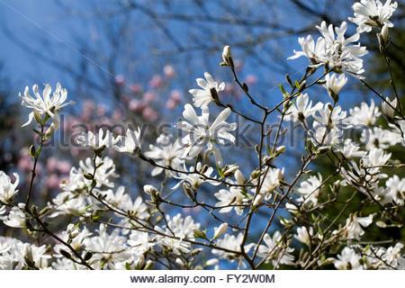 Magnolia stellata 'Royal Star' blossom. - Stock Photo